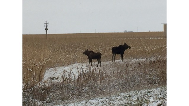 Moose Spotted Near Mohall