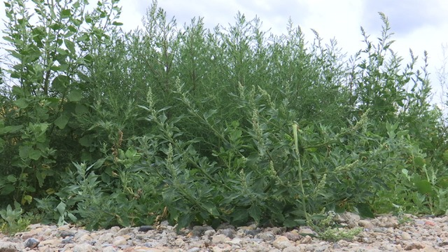 some garden weeds can be eaten as food - Garden Weeds